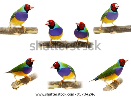 Gouldian Finch - Erythrura gouldiae in front of a white background. Collage - stock photo