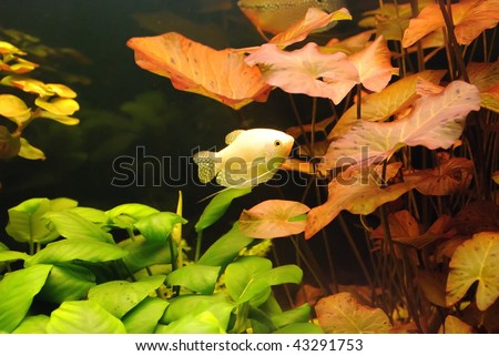 Gourami - stock photo