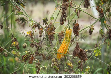 Gourd farm after harvest  - stock photo