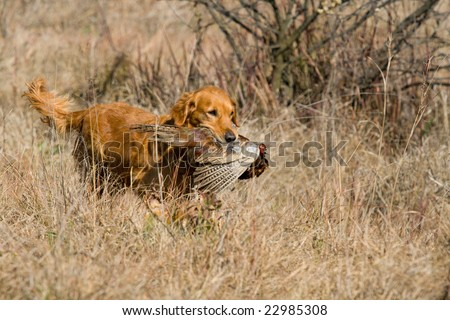 GR Golden Retriever with pheasant - stock photo