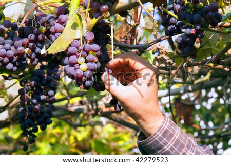 Grabbing and testing grapes on the vineyard - stock photo