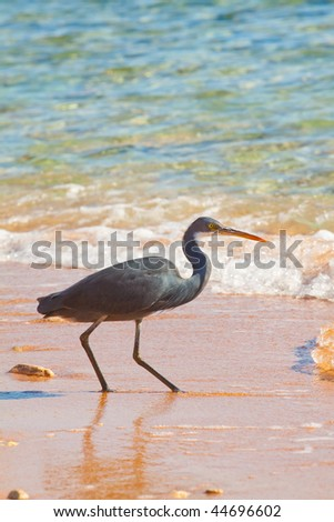 Grace Black heron hunting on the red sea