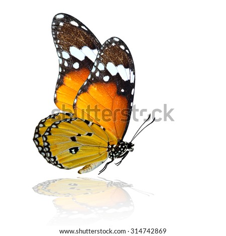 Grace flying Plain Tiger butterfly (Danaus chrysippus) with soft shadow reflection beneath - stock photo