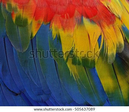 Grace of Beautiful red, yellow and blue texture of Scarlet macaw parrot bird's wing feathers