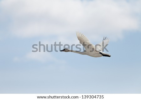 Graceful adult white trumpeter swan  Cygnus buccinator  flying in sky full of clouds with neck extended as it migrates to its arctic nesting grounds with copyspace - stock photo