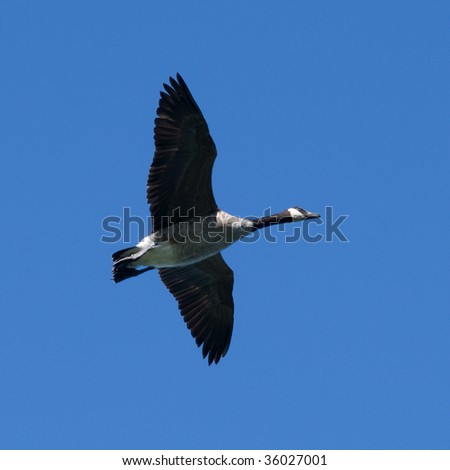 graceful canada goose with wings spread in flight against deep blue sky - stock photo