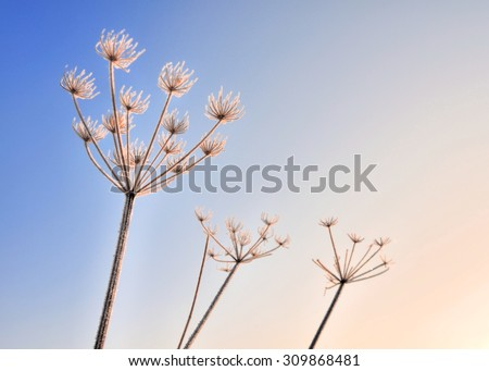graceful flowers covered by frost in winter  - stock photo
