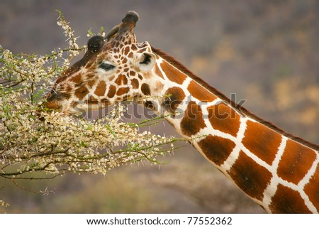 Graceful giraffe eating branch of the tree , Samburu, Kenya - stock photo