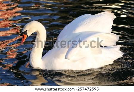Graceful Mute Swan swimming on beautiful reflective waters - stock photo