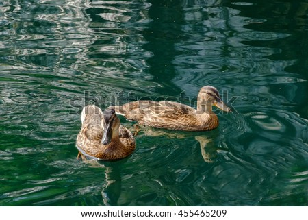 Graceful pair of wild ducks floating in blue clear water. Beautiful bird in its natural nature. Idyllic to the eye picture. - stock photo