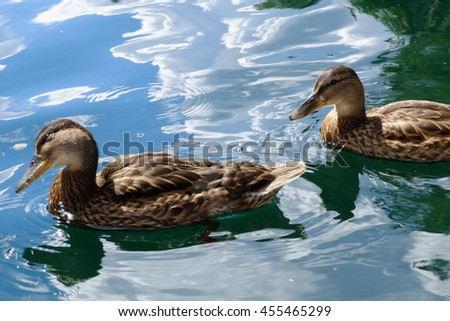 Graceful pair of wild ducks floating in blue water. Beautiful bird in its natural nature. Idyllic to the eye picture. - stock photo