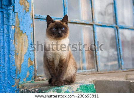Graceful Siamese cat with blue eyes sitting at the old window - stock photo