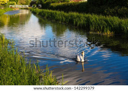 Graceful swan in the centre of the river in Somerset England near Taunton - stock photo