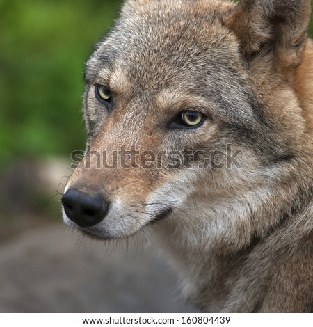 Graceful turn of the head of the young, two year old, european wolf female. Face portrait of a forest dangerous beast, Canis lupus lupus, on blur background. Beauty of the wildlife.  - stock photo