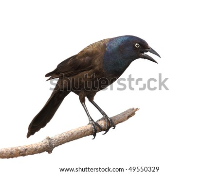 grackle gives intimidating scream and scary gaze to scare off intruder; white background