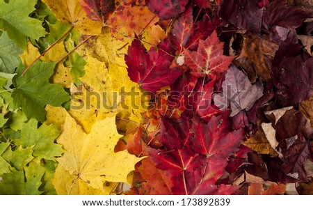 Gradient of Fall Colored Maple Leaves - stock photo