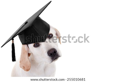 Graduate Labrador puppy dog on white with copy space - stock photo