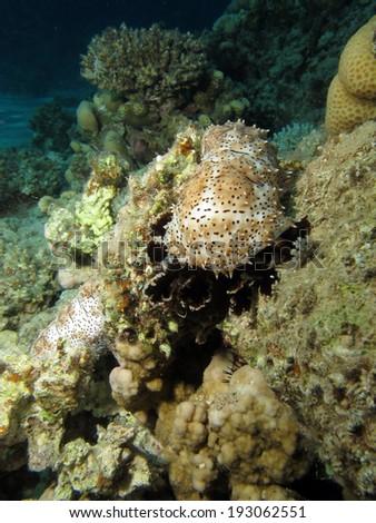 Graeffe's sea cucumber (Bohadschia graeffei, holothurian, echinoderm) - stock photo