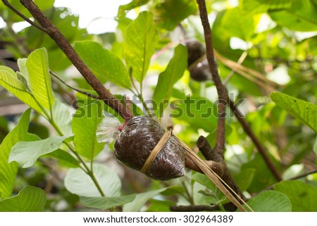 graft on green lemon branch. agricultural technique - stock photo