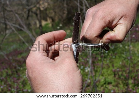 grafting tree - stock photo