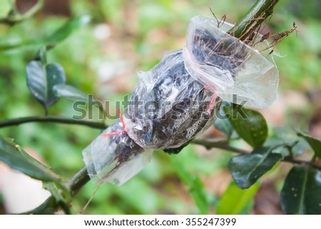 grafting  with branch of tree,with de-focused and blurred wood background - stock photo