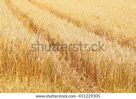 Grain field - stock photo