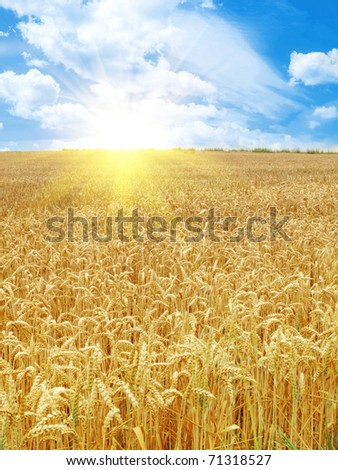 grain field and sunny day - stock photo