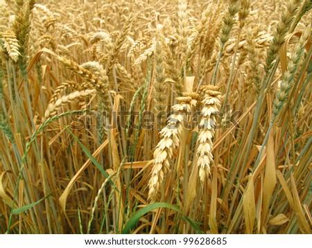 grain field background - stock photo