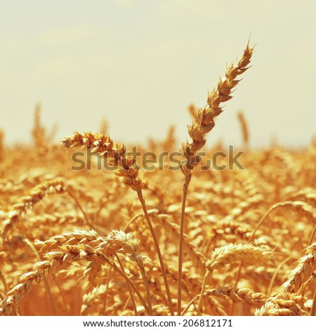 grain field - Close up nature photo Idea of a rich harvest