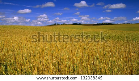 Grain field - field of the wheat with blue, cloudy sky - stock photo