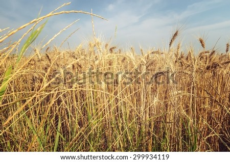 Grain field. Golden field of wheat ready to be harvested under blue sky. - stock photo