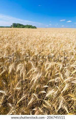 grain field under blue sky - stock photo