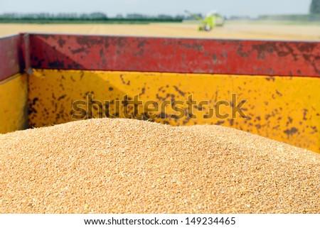 grain harvester combine work in field  - stock photo
