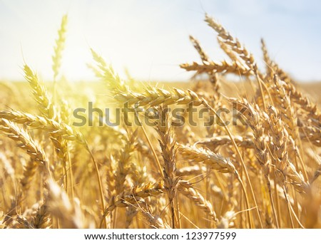 grain in a farm field at sunset time - stock photo