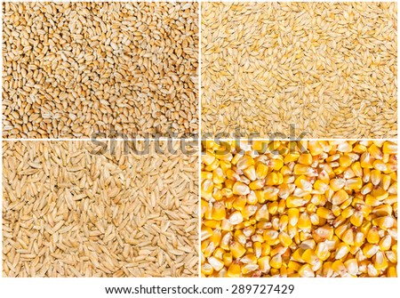 Grain of ripe wheat, barley, rye and corn closeup. Texture, background  - stock photo