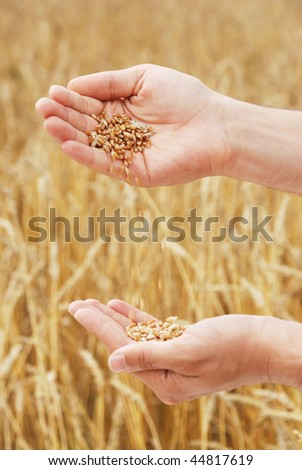 Grain of the wheat in hands of the person on a background of a wheaten field - stock photo