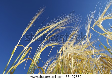 grain on a clear day