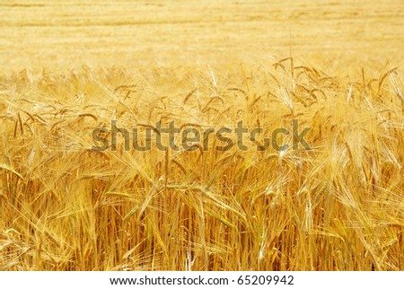 Grain, wheat field growing, agriculture background. - stock photo