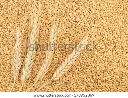 Grains and ears of wheat as background - stock photo