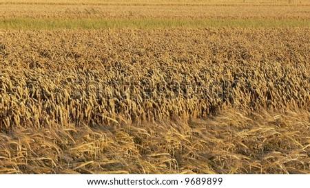 Grains field - stock photo