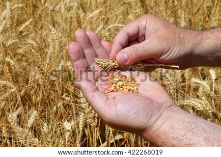 Grains in a farmer's hands on the wheat field background. Harvesting. Agricultural theme