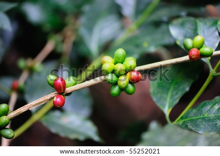 Grains of coffee grow on the branches - stock photo