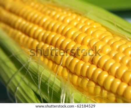 Grains of ripe corn in an ear, close up - stock photo