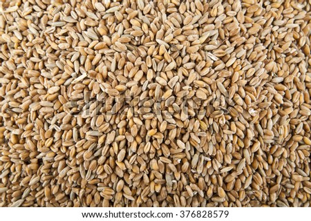 Grains of wheat in closeup view of the texture image