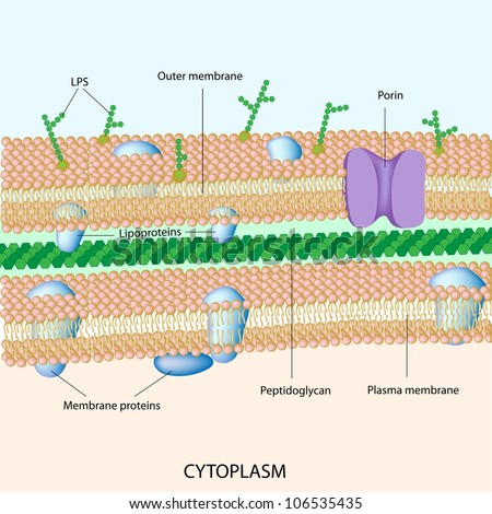 Gram negative bacterial cell wall - stock photo