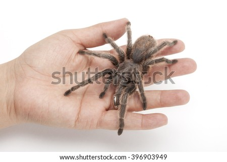 Grammostola rosea or Chilean rose tarantula crawling on a hand, isolated on white background - stock photo