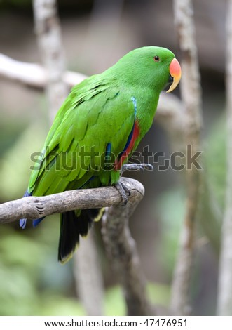 Grand Eclectus or Dusky Eclectus Parrot male , maluku islands, indonesia