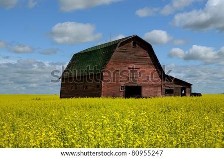Grand old Red Barn in Saskatchewan Canola or Rapeseed Field - stock photo