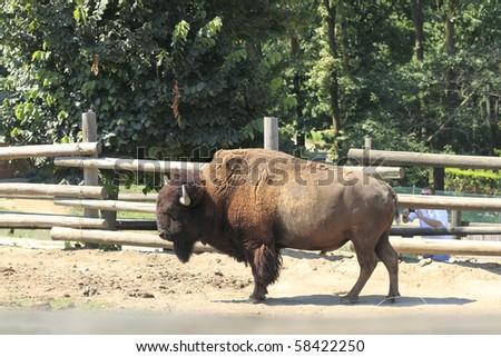 grandeur of the American buffalo standing - stock photo