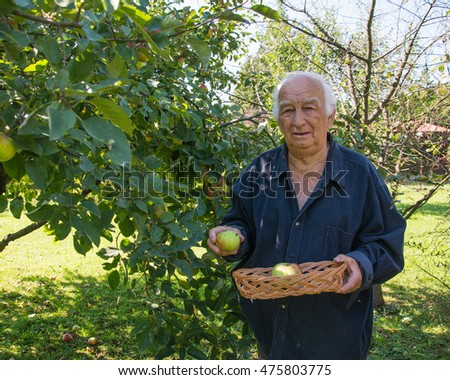 grandpa in garden. senior farmer harvesting apples